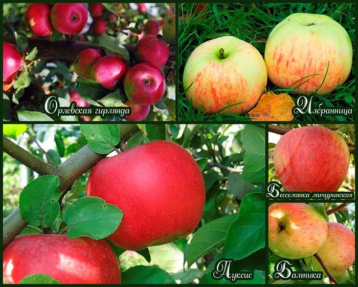 сорта-яблонь-для-ленинградской-области