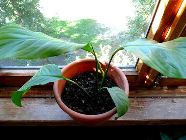 Спатифиллум не растет - большой горшок