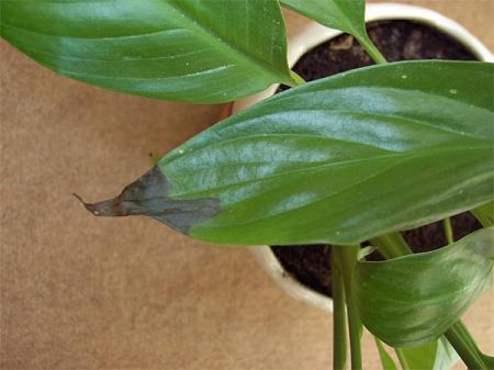 У спатифиллума сохнут листья от перекорма удобрениями