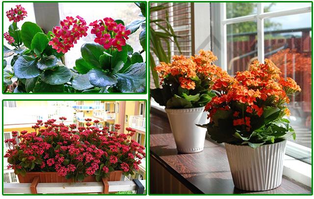 Выращивание каланхоэ дома - в горшках и в балконных ящиках