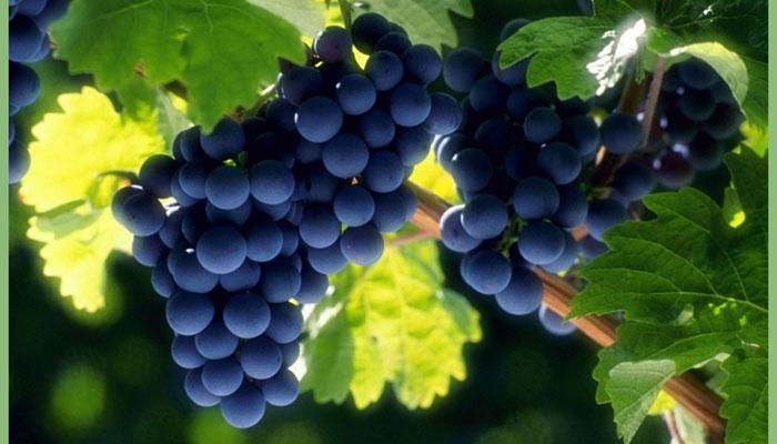 кисти-винограда
