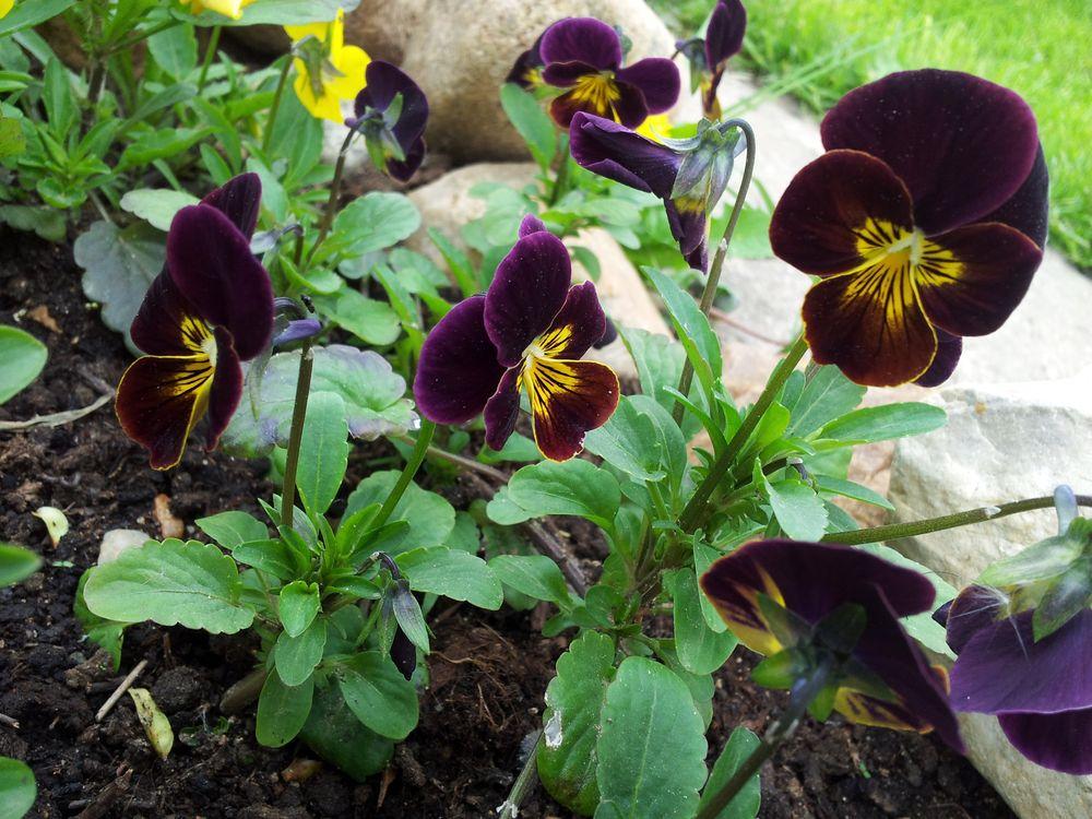 Выращивание виолы в открытом грунте