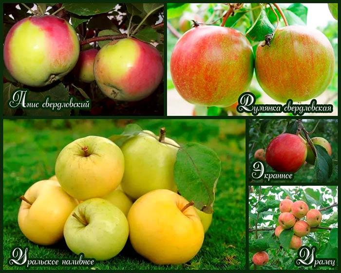 лучшие-яблони-для-уральского-климата