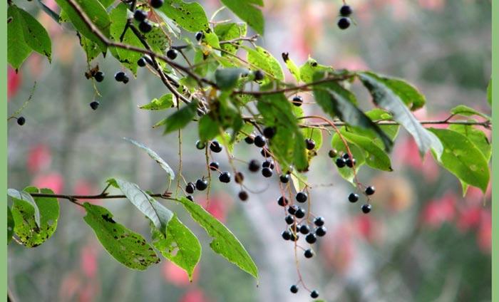 ягоды-черемухи