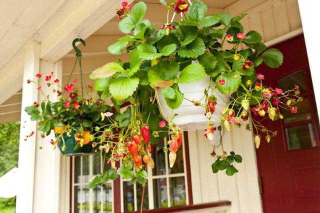 Земляника на балконе