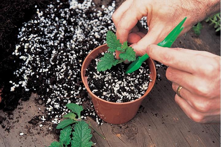Заглубляют черенок в легкую почву