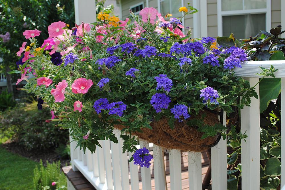 Вербена посадка и уход фото в саду можно объединять