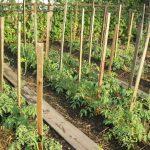 visadka-rassadi-pomidor-11