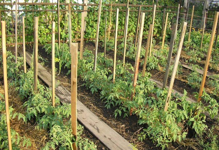 Так выглядят в окончательном варианте грядки с высаженными помидорами