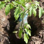 visadka-rassadi-pomidor-8