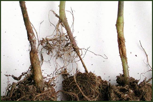 Фитофтора-корневая-гниль-малины