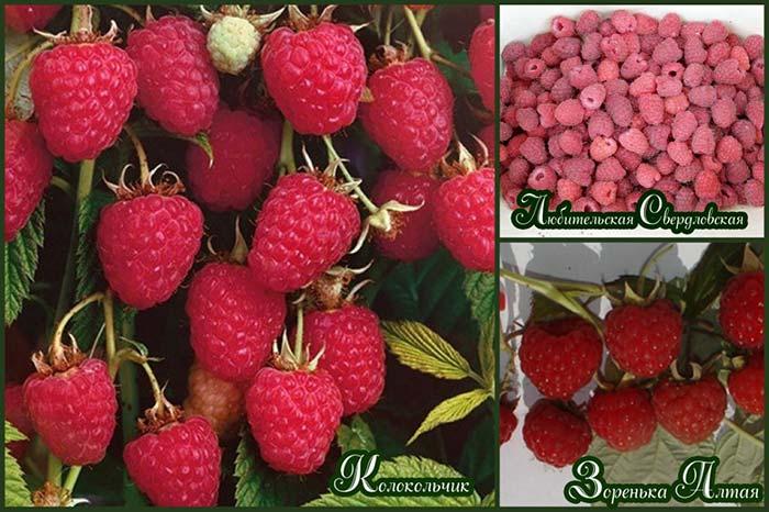 лучшие-сорта-малины-для-Сибири-с-крупными-и-сладкими-ягодами
