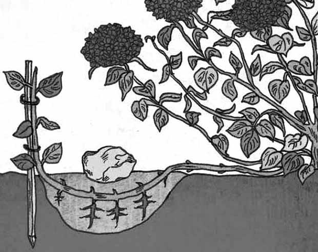 как размножать гортензию отводками