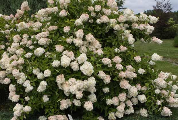 гортензия метельчатая сорт Grandiflora