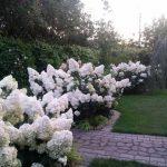 gortenzija-metelchataja-sort-Vanille-Fraise-5