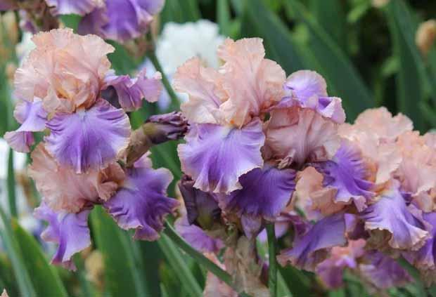 ирис Florentine Silk