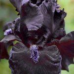 iris-sort-Obsidian