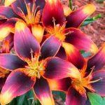 lilii-posadka-5