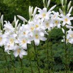 lilii-sort-Sandidum
