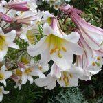 lilii-sort-trubchatye