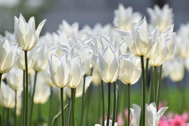 что делать с тюльпанами когда цветение закончилось