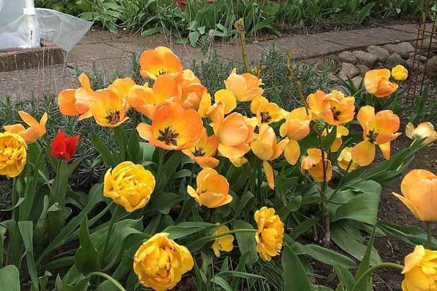отцвели тюльпаны, выкапывать или нет