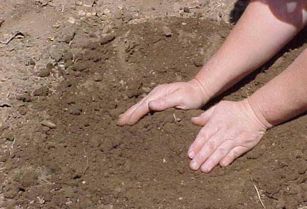 Посадка ириса весной в открытый грунт