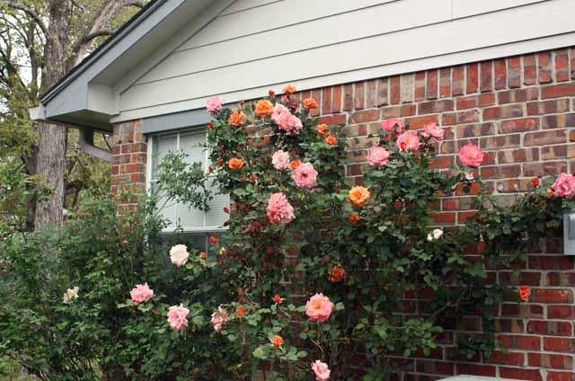розы в саду обрезка