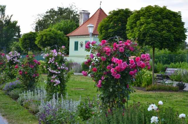 розы в саду и около дома