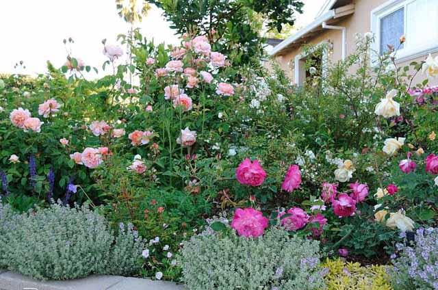розы в саду полив и уход