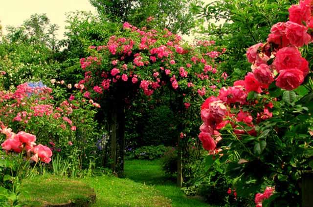 розы в саду удобрения
