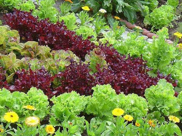 соместная-посадка-цветов-и-овощных-культур