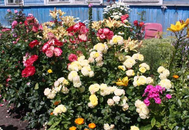обработка розы от тли