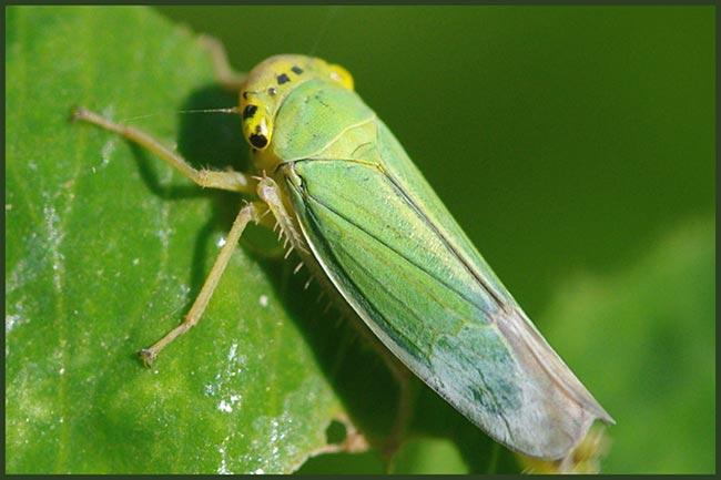 цикадка-на-листьях-малины
