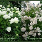 dva-vida-gortenzii-grandiflora-drevovidnaya-i-metelchataya