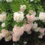 gortenziya-grandiflora-opisanie-foto