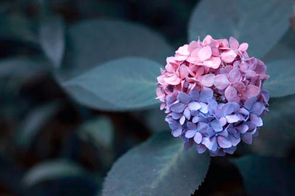 изменение-оттенка-соцветий