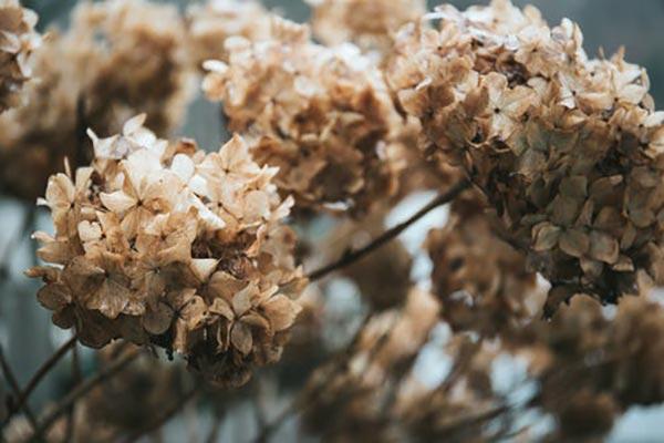 обрезка-отцветших-соцветий-гортензии