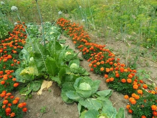 Бархатцы - растения-репелленты, которые помогут отпугнуть тлю от капусты
