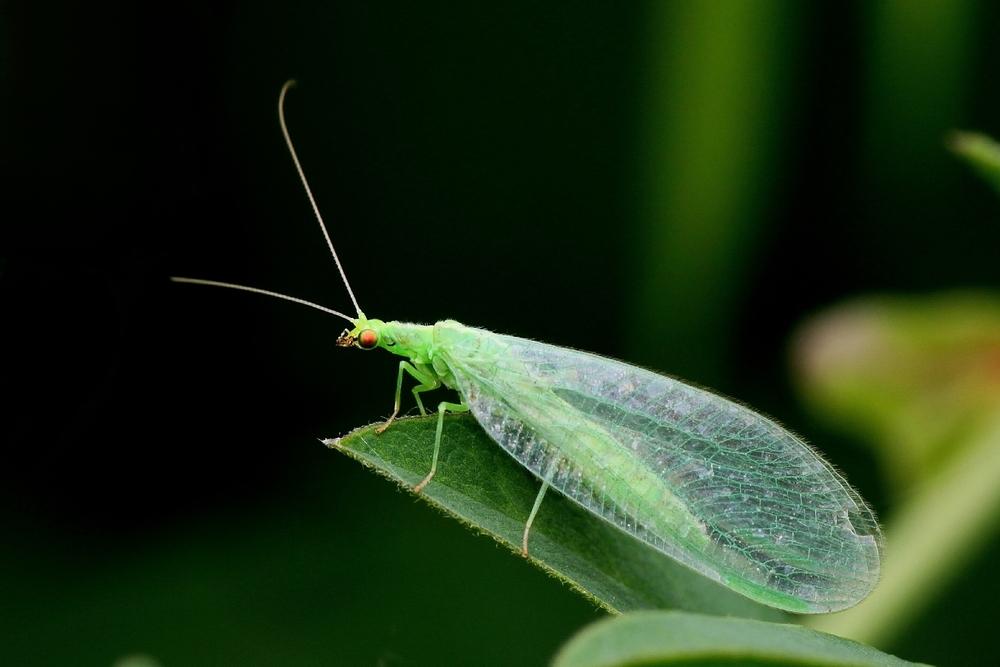 Личинки Зеленой Златоглазки обладают способностью быстро поедать тлю
