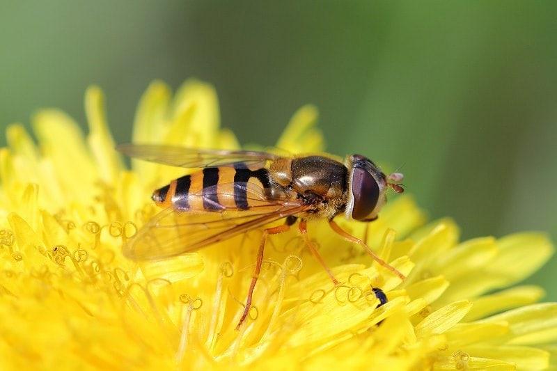 Личинки мухи журчалки, похожие на толстых гусениц, поедают тлю