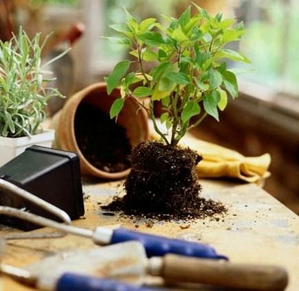 В земляном коме корни куста будут в большей безопасности