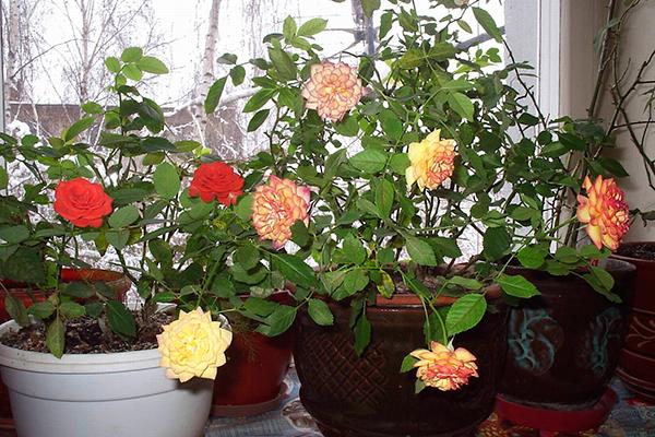 Методы обрезки роз зависят от времени года