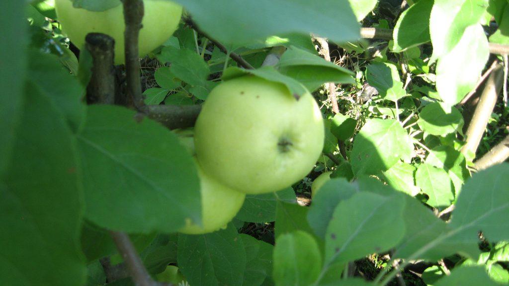 Молодые яблони сорта Подснежник плодоносят ежегодно