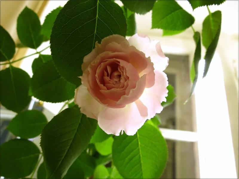 Перед пересадкой купленных роз следует дать им время на адаптацию