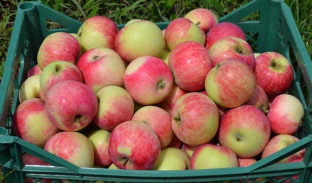 Яблоки сорта Конфетное станут отличной начинкой для пирогов