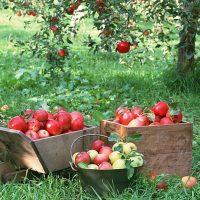 После уборки плодов