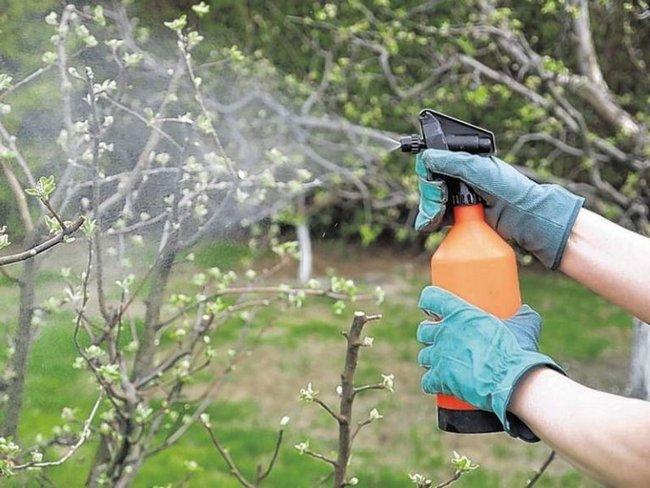 Раствор мочевины эффективно отпугивает вредителей от деревьев