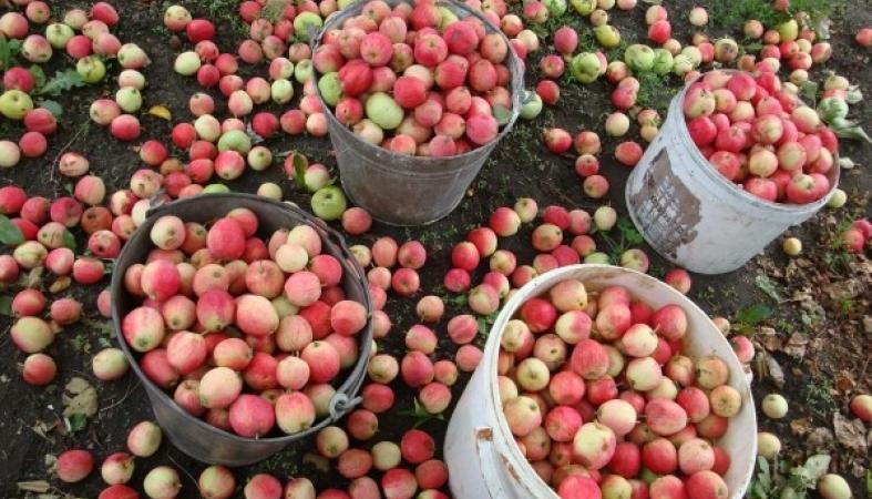 Редкие плоды яблонь на карликовом подвое способны дожить до весны
