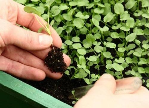 Самое главное при пикировке - не повредить корневую систему растения